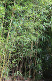 green large bamboo stalks with leaves Royalty Free Stock Photography