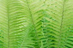 Green large fern leaf close-up Royalty Free Stock Photography