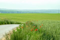 Green large field with flowers. Many poppys in a large green rural field as a background Royalty Free Stock Photo
