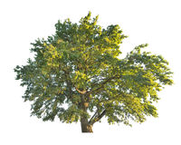 Green large oak tree isolated on white Royalty Free Stock Photos