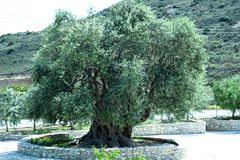 The Green large olive royalty free stock image