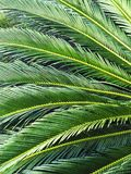 Green large palm leaves closeup. royalty free stock photography