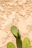 Green large sharp cactus contrasting to golden battered wall Royalty Free Stock Photo