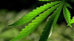 A green, large sheet of cannabis.The backlit, evening light hemp leaves.