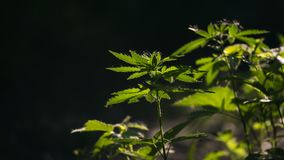 A green, large sheet of cannabis.Leaves of grass on a sunny skylight. In the sun, hemp is swaying.Forest thickets.Forest hygrophilous and shade-tolerant species royalty free stock photo