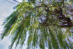 Green large willow tree. Low view of a willow tree with a blue sky as background Stock Photography