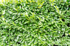 Green laurel bush background Royalty Free Stock Image