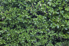 Green laurel bushes Royalty Free Stock Photo