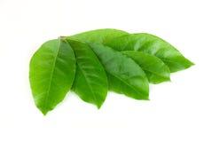 Green laurel leaves royalty free stock photos