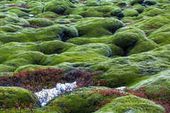 Green lava fields. Lava fields with moss covered lava rocks Royalty Free Stock Photography