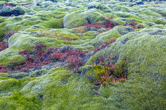 Green lava fields. Lava fields with moss covered lava rocks Stock Photo