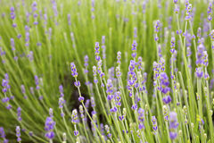 Green lavender field. Beautiful soft lavender flowers blossoming in spring Stock Photos