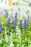 Green Lavender Field royalty free stock photo