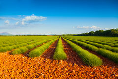 Green lavender fields  in summer Stock Image