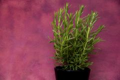 Green lavender plant on pot. With red abstract background royalty free stock image