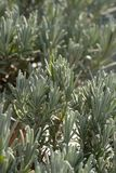 Green lavender plant. In vretical format royalty free stock photo