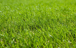 Green lawn. Cultivated land for sport and relaxation Royalty Free Stock Image