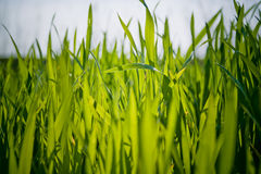 Green lawn. Beautiful detail of green lawn Stock Photos