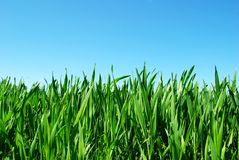 Green lawn. Beautiful green lawn isolated on sky Stock Photo
