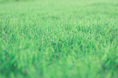 Green lawn background in front yard at Thailand. Royalty Free Stock Photo