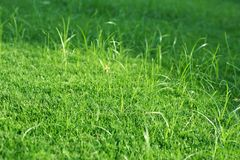 Green lawn for background. Nature. Stock Photo