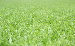 Green lawn for background Stock Photography