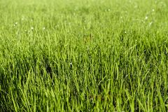 Blades of grass. Green lawn, blades of grass with dew drops Royalty Free Stock Photos