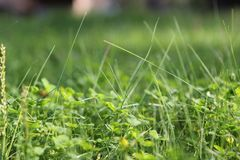 Green lawn with bulging shoots royalty free stock photo