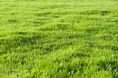 Green lawn. Closely mowed as grass background Royalty Free Stock Images