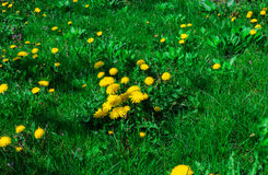 On the green lawn of dandelions grow Royalty Free Stock Photo