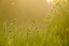 On a green lawn in the early foggy morning Royalty Free Stock Photos