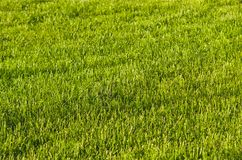 Green lawn - evening. Royalty Free Stock Image