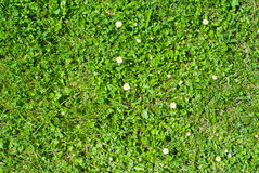 Green lawn with flowers Royalty Free Stock Photography