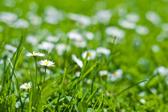Green lawn with flowers Royalty Free Stock Image