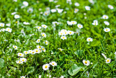Green lawn with flowers Royalty Free Stock Photo