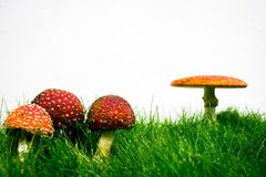 Green lawn with fly agaric fly amanita. Muscaria royalty free stock photos
