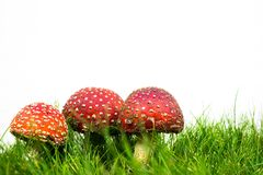 Green lawn with fly agaric fly amanita. Muscaria stock photography