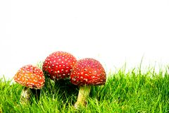 Green lawn with fly agaric fly amanita. Muscaria royalty free stock image