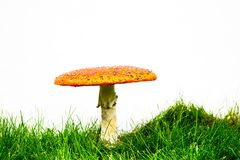 Green lawn with fly agaric fly amanita. Muscaria stock photos