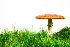 Green lawn with fly agaric fly amanita. Muscaria stock image
