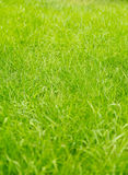 Green lawn grass, background Royalty Free Stock Images