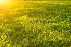 Green lawn grass in the sunset, close - up, beautiful background.  stock photography