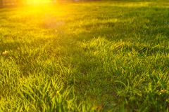 Green lawn grass in the sunset, close - up, beautiful background.  stock photo