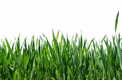 Green lawn isolated Stock Images