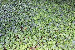 Green lawn ivy Stock Photography
