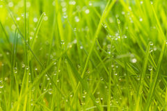 Green lawn with morning dew Stock Photos