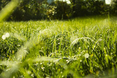 Green lawn. Morning dew on green grass Royalty Free Stock Photos