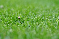 Green lawn with mushroom for background. Green lawn with mushroom for background Royalty Free Stock Images