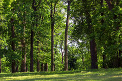 The green lawn in the oak forest. The green lawn in the oak forest, a grass grows at deciduous trees on outdoors Royalty Free Stock Image