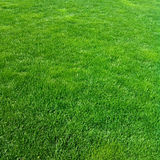 Green lawn. Royalty Free Stock Photo